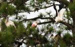 Spoonbill Flies Into PineTree