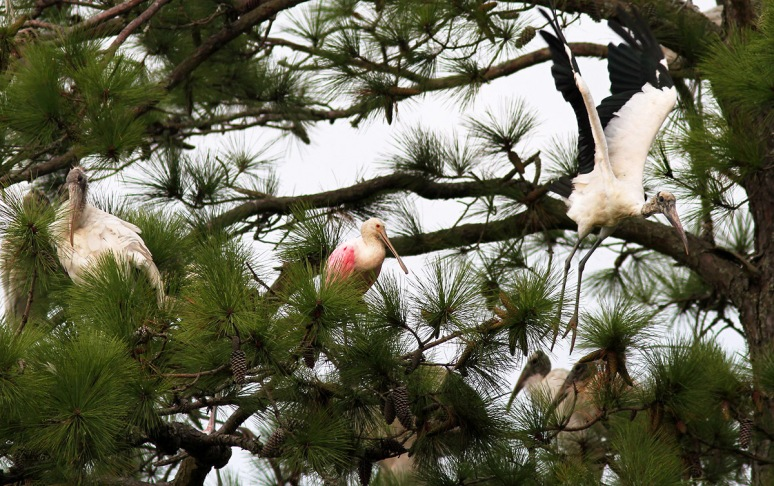 Spoonbill Flies Into Pine Tree