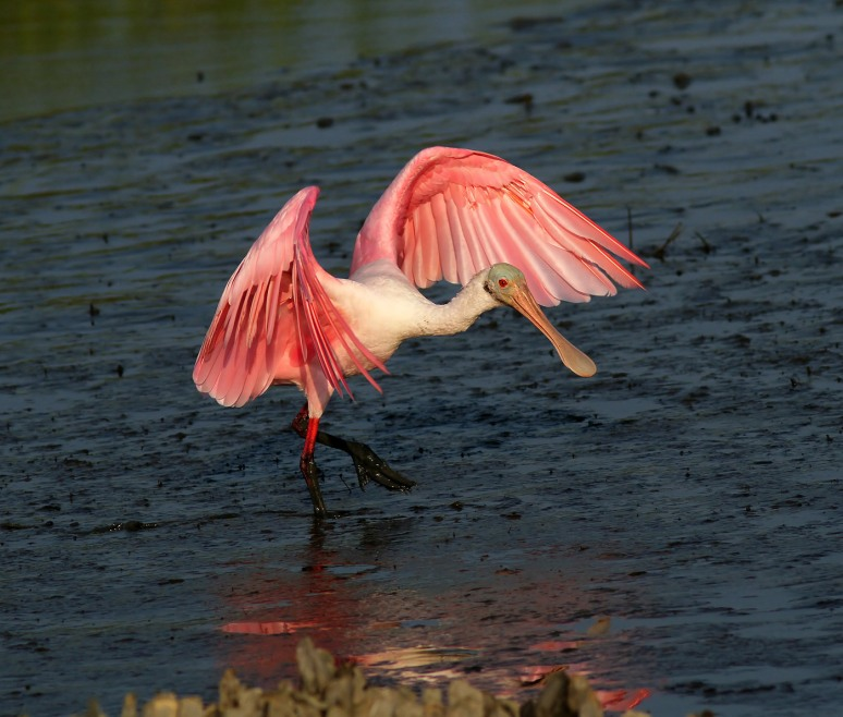 Spoonbill Walking The Runway