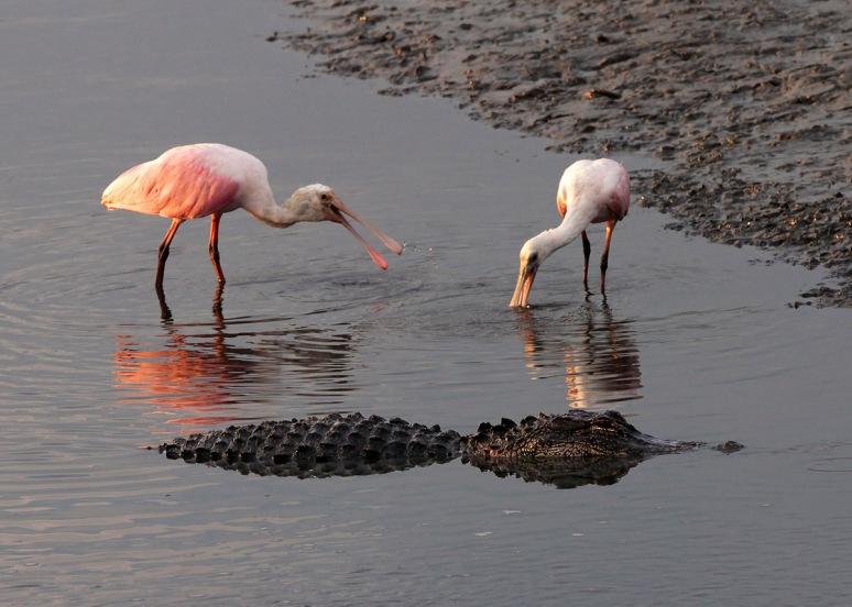 Spoonbills and Alligator