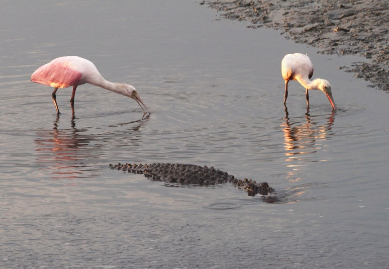 Spoonbills and Alligator