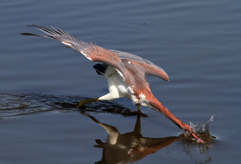 Tricolored Heron Fishing in Pond