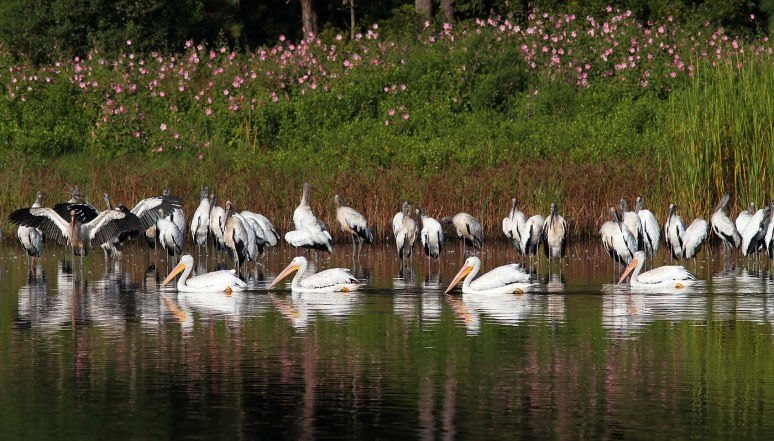 White Pelican Parade Past Wood Storks