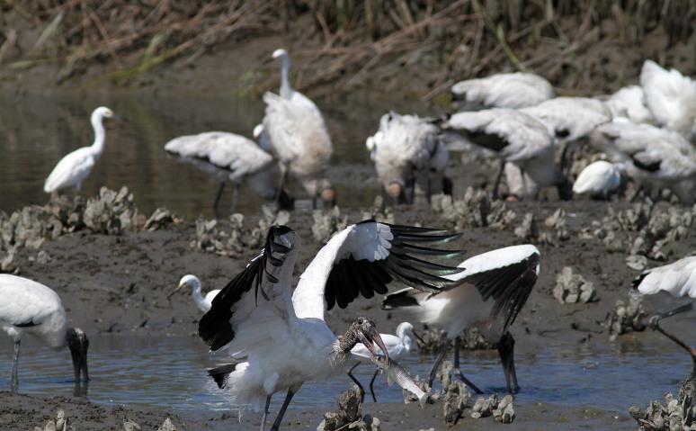 Wood Stork Feeding Frenzy