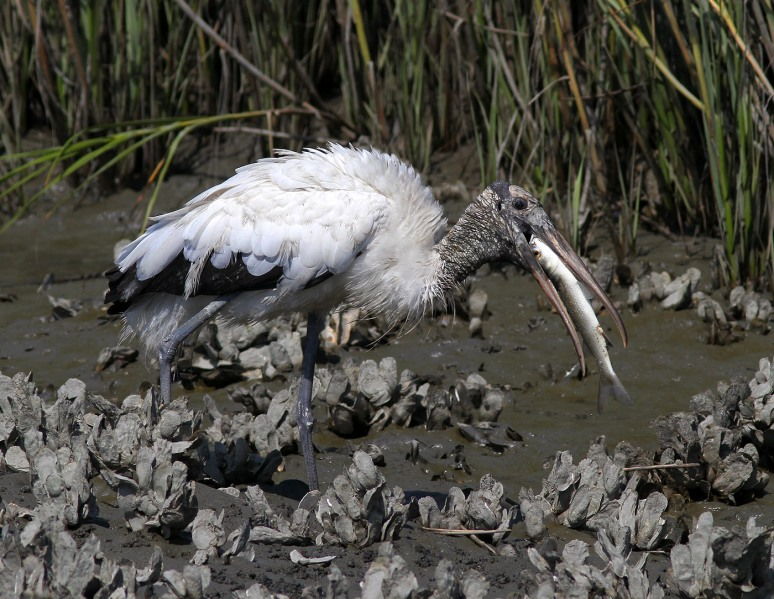 Wood Stork Feeding Frenzy