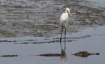 Alligator and Egret