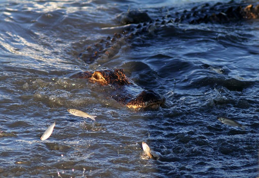 Alligator fishing in salt marsh phil lanoue photography for Blue marsh lake fishing