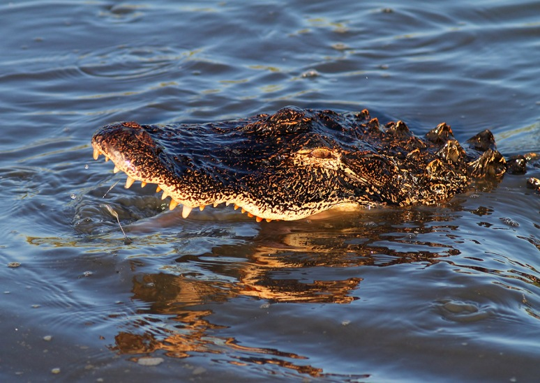 Alligator Fishing in Salt Marsh