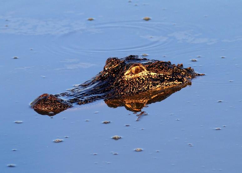 Alligator Fishing in Salt Marsh