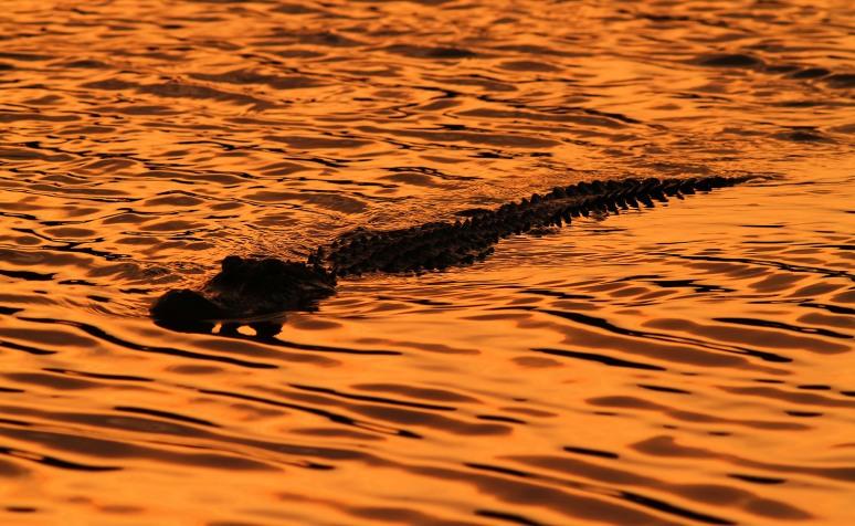 Alligator Sunset Silhouette