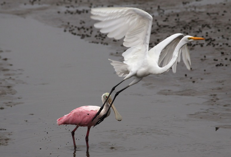 Egret and Spoonbill in Salt Marsh