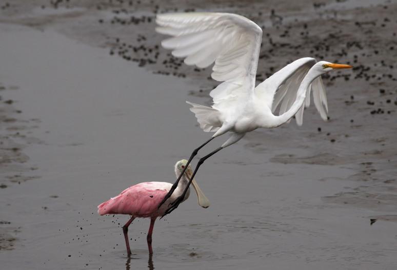 Egret and Spoonbill in Salt Marsh