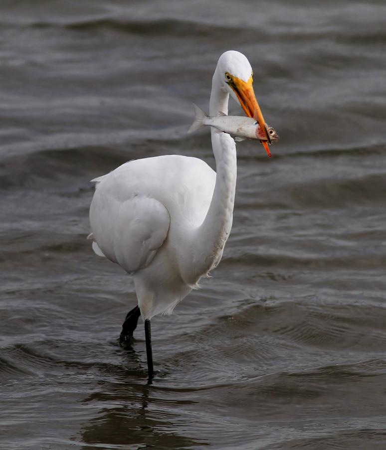 Egret Fishing in Salt Marsh