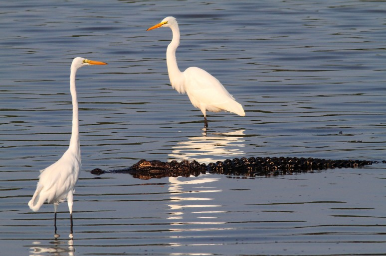 Egrets and a Friend