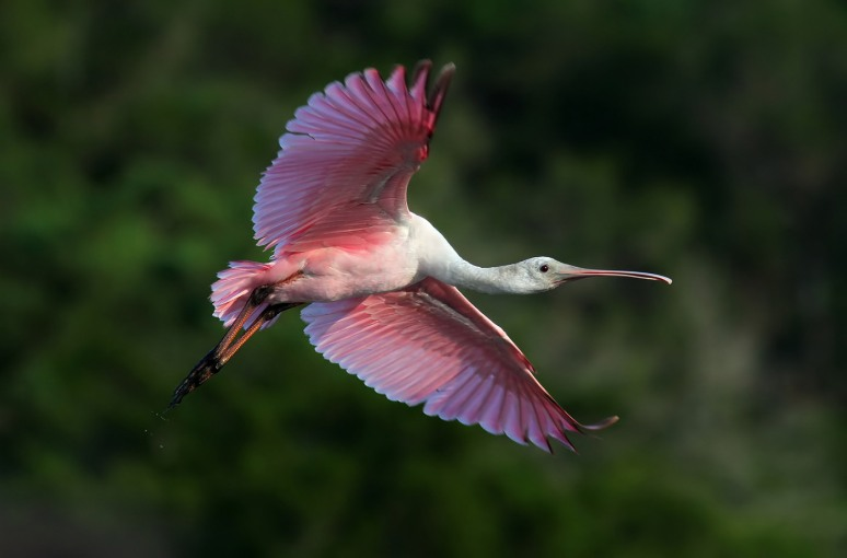 Evening Spoonbill Flight