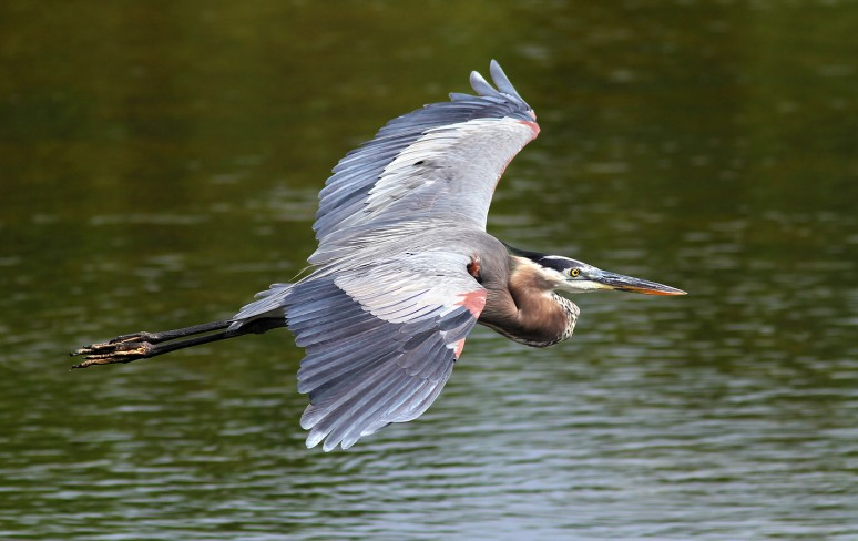 GBH Flight Across Marsh Pond