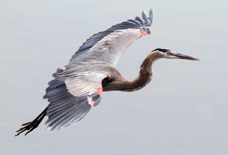GBH Flight Across Marsh Pond