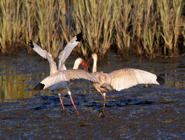 Ibis Battle in the Salt Marsh
