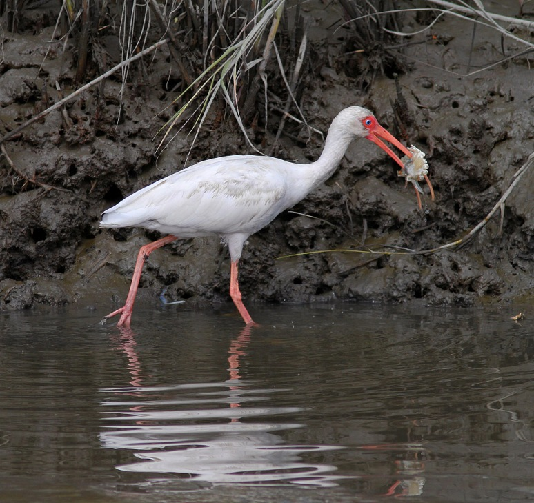 Ibis Catches Big Crab