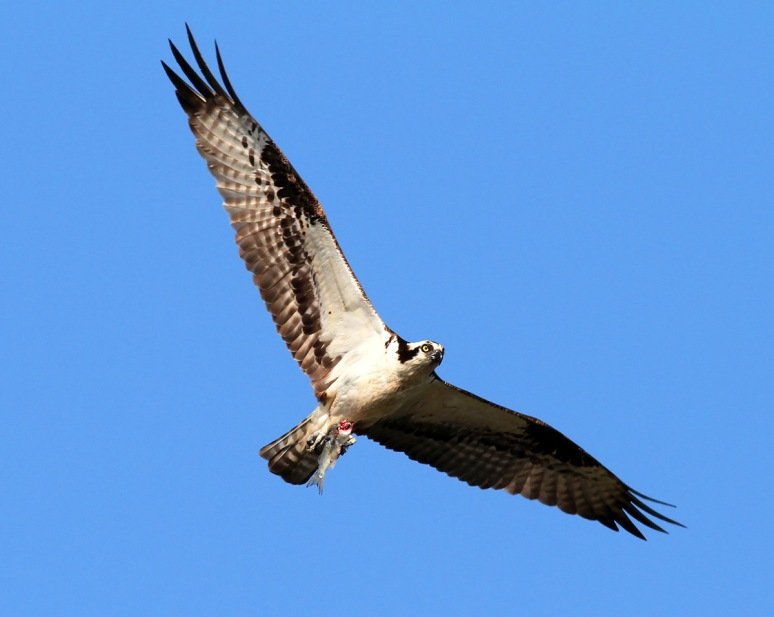 Osprey With Headless Fish