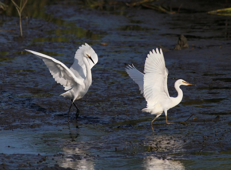 Snowy Fight in the Salt Marsh