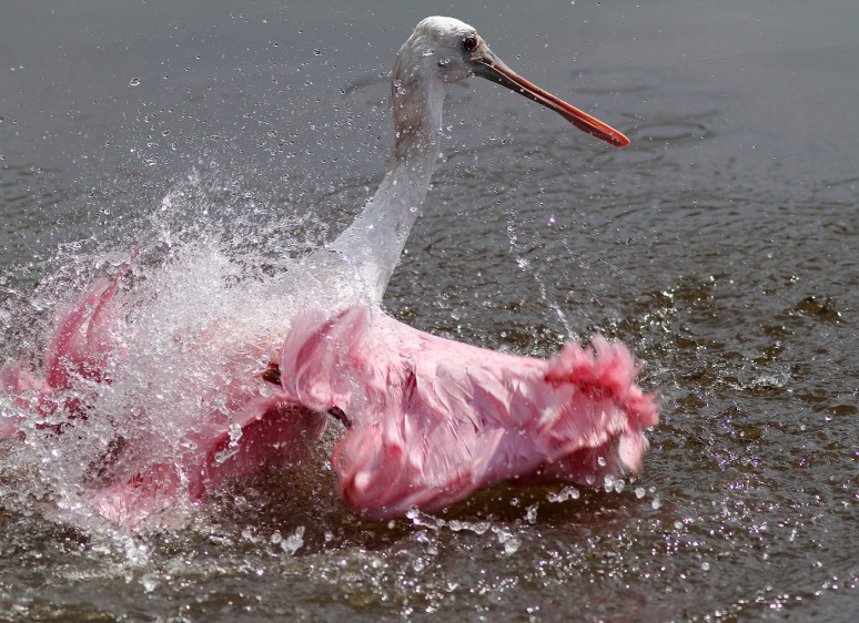 Spoonbill Bathing
