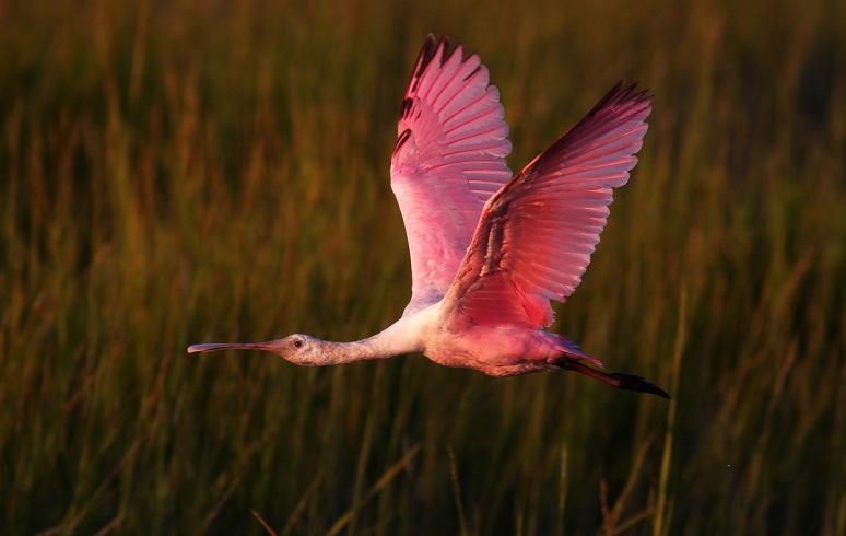 Spoonbill Evening Flight