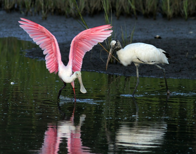 Spoonbill Evening in the Marsh