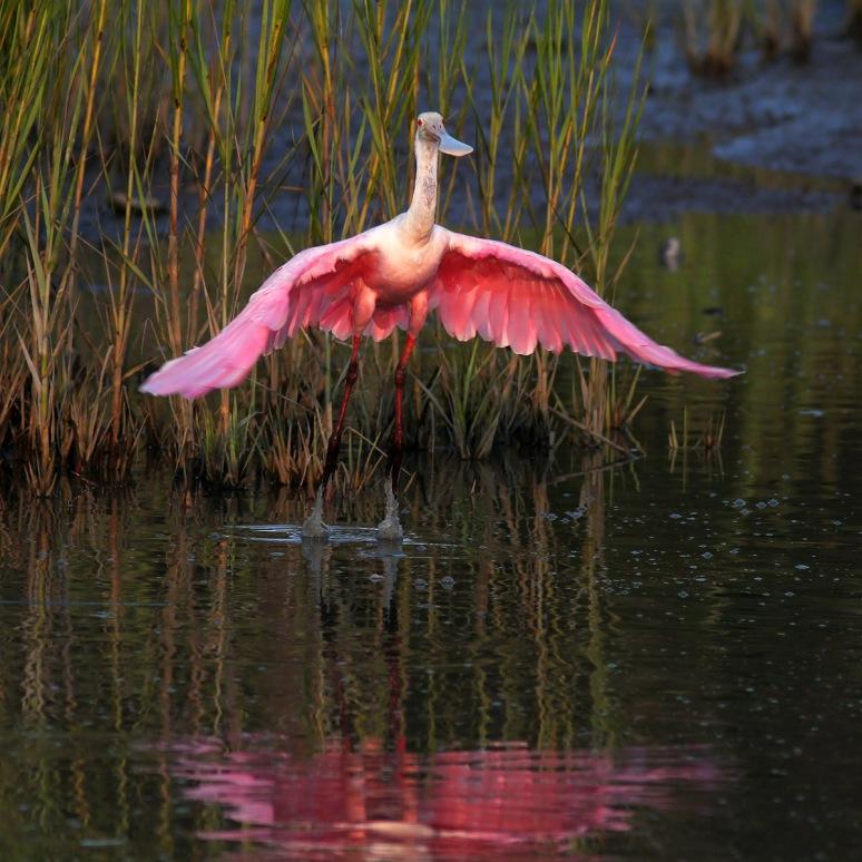 Spoonbill Evening in the Marsh