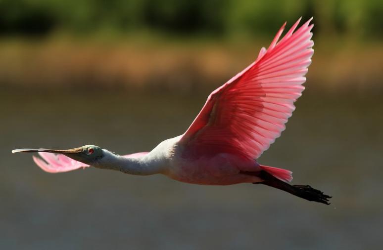 Spoonbill Flight From Marsh Pond