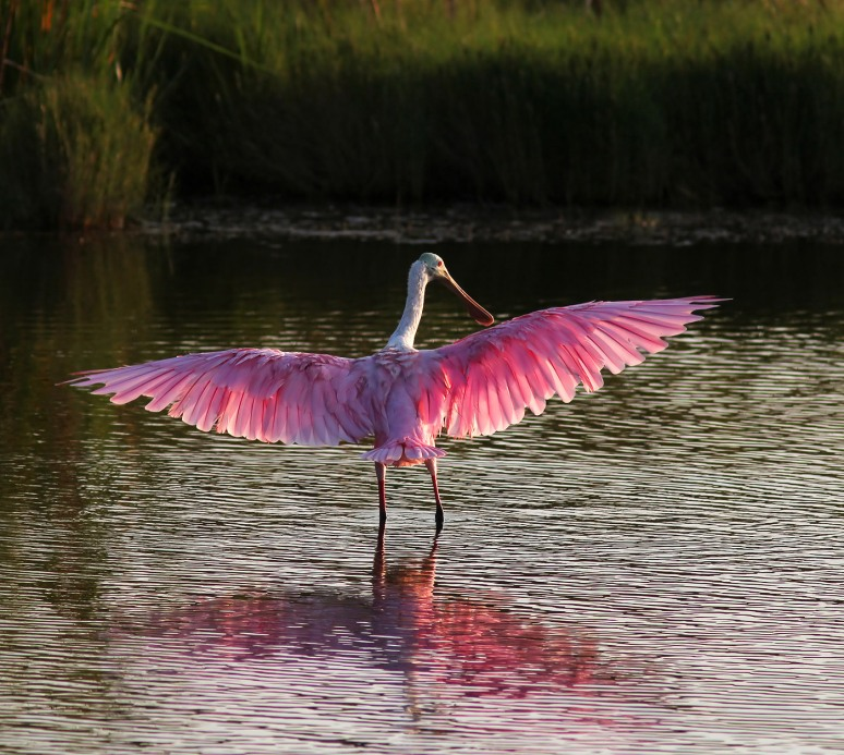 Spoonbill in Marsh Pond at Sunset