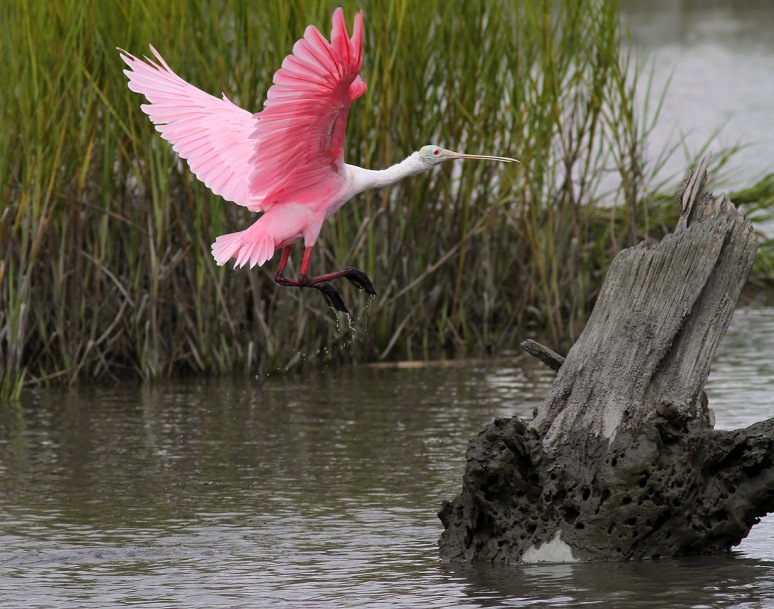 Spoonbill Lands on Tree Stump