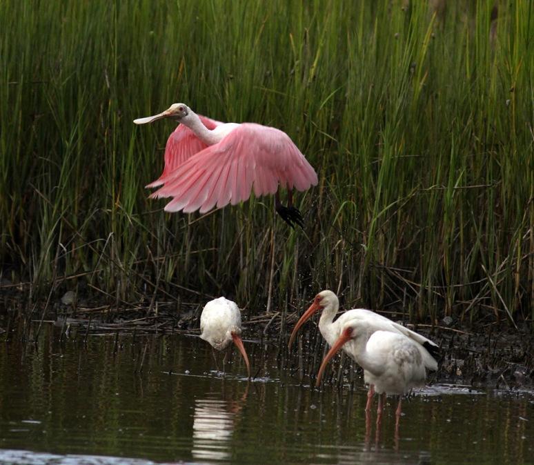 Spoonbill Lifts Offs From Salt Marsh