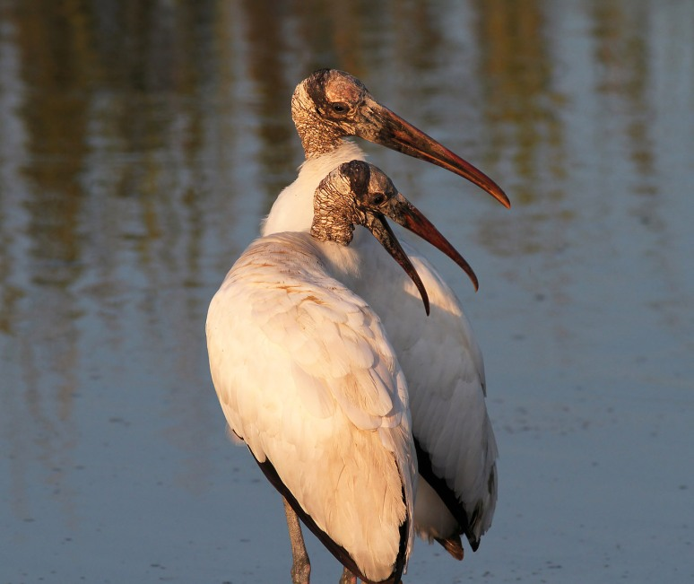 Wood storks In Love