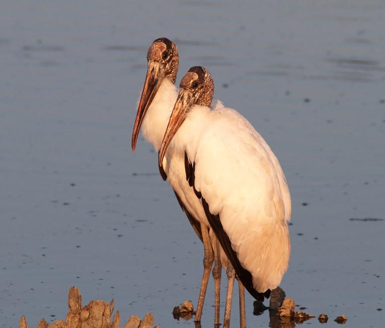 Wood storks In Love
