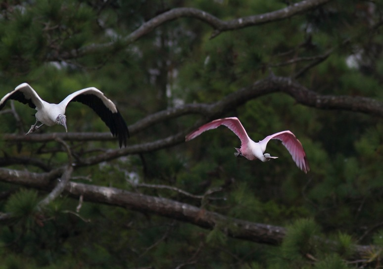 Wood Storks Panic and Fly