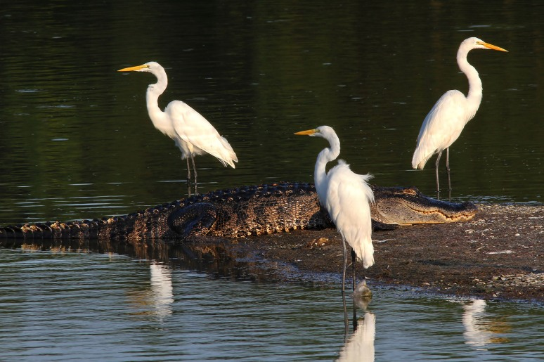 Alligator and Egrets