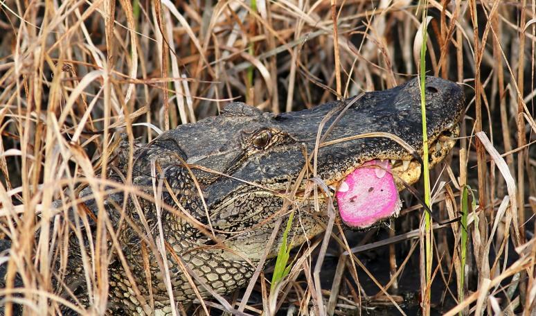 Alligator Finds Flip Flop