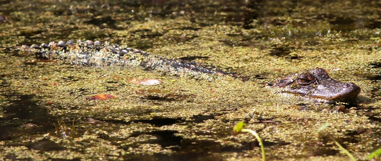 Baby Alligator in Swamp