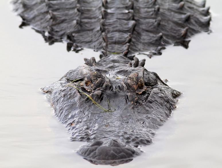 Big Alligator Head