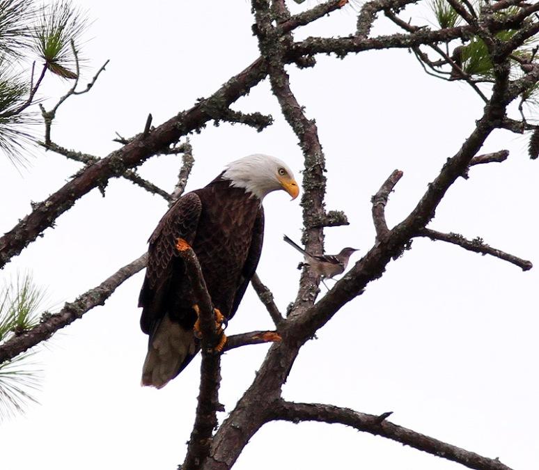 Eagle Annoyed By Mockingbirds