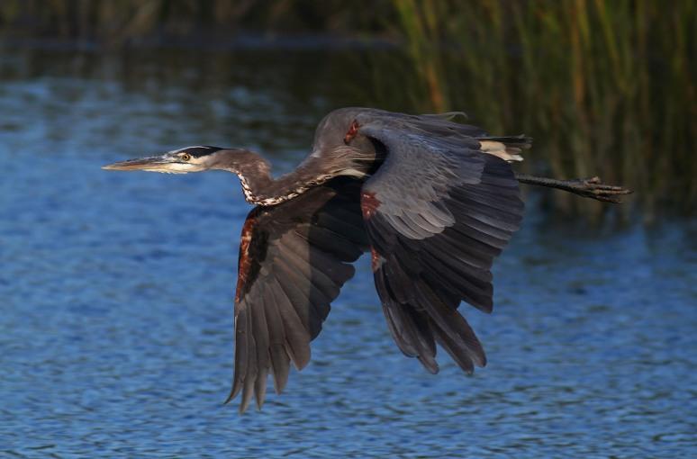 GBH Flight Across the Salt Marsh