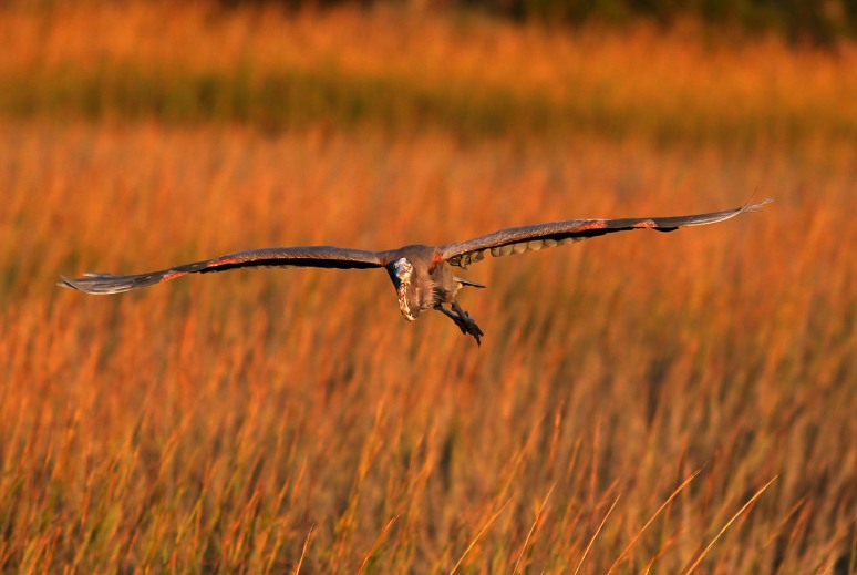 GBH Flight in from Marsh