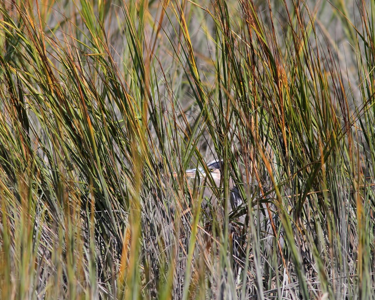 GBH Hiding in Reeds