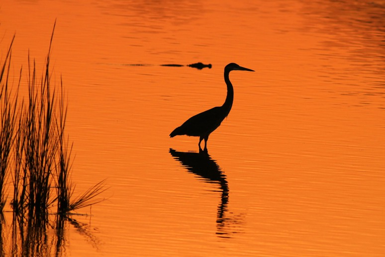 Great Blue Heron Sunset Silhouette with Alligator