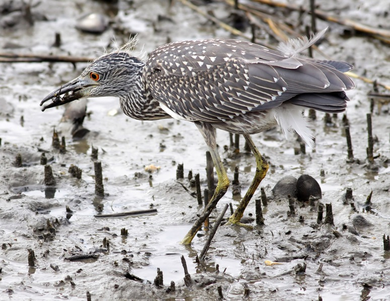Juvie Night Heron Catches Crab