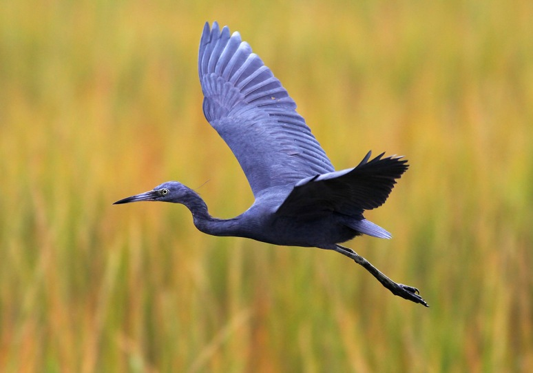Little Blue Heron Flight
