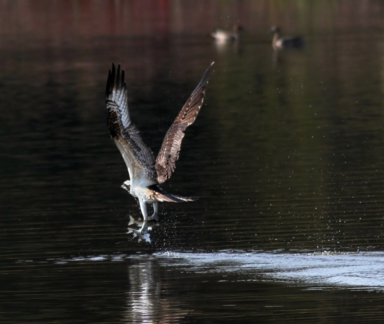 Osprey Grabs Two Fish