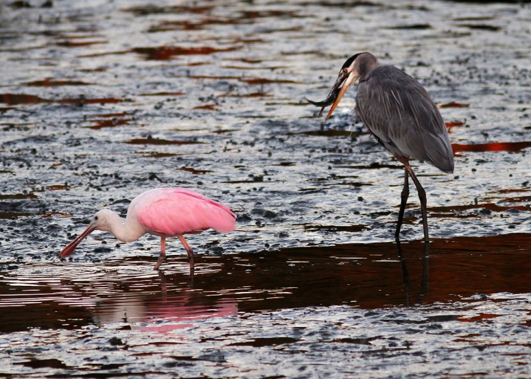 Spoonbill and GBH No Competition