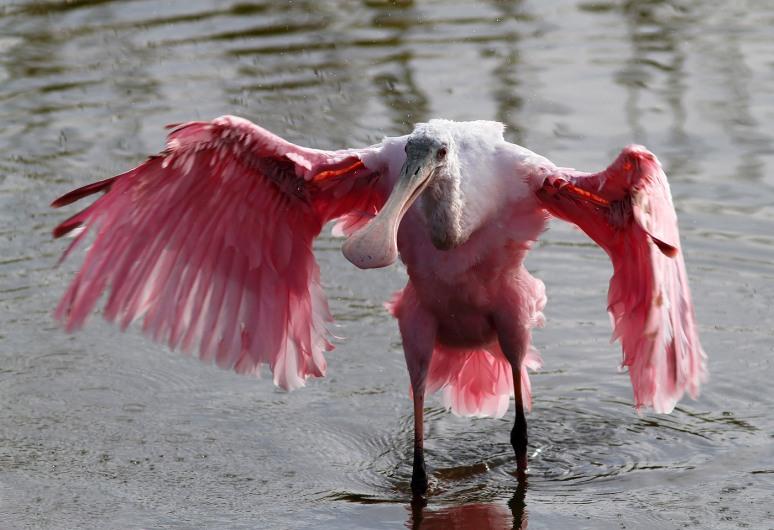 Spoonbill Bathing in Marsh Pond